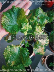 Shiso-Leaves-2015-1