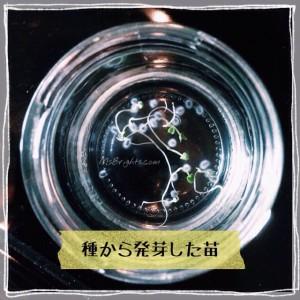 Shiso Leaves 2015-4