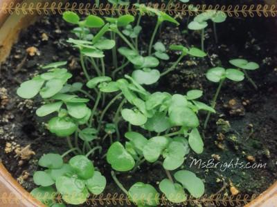 Shiso Leaves 2015-6